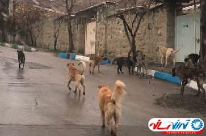 شب گردی سگ های ولگرد در شمال تهران